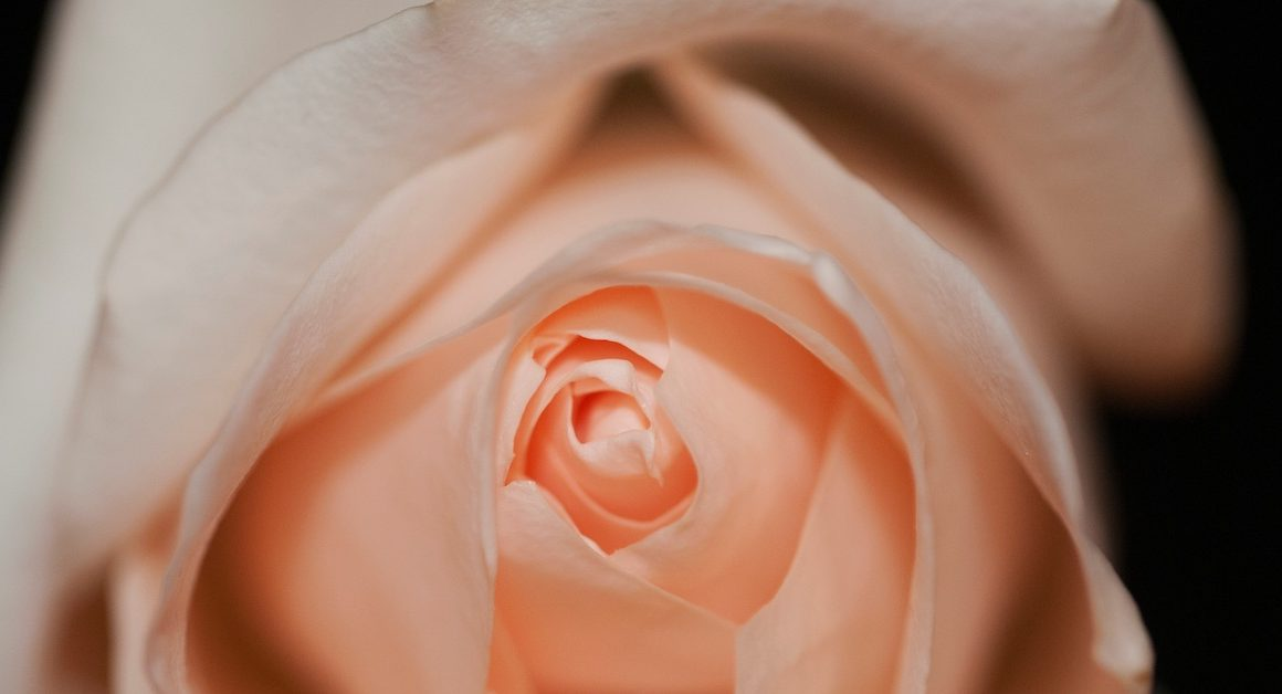 Peach coloured rose up close