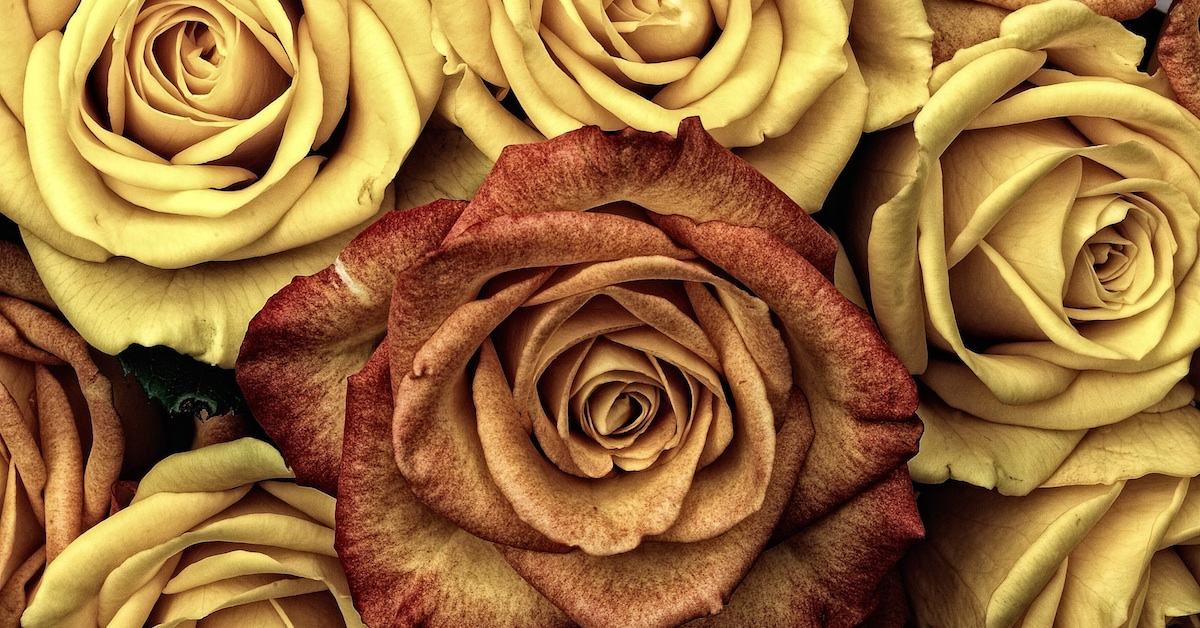 One burnt orange rose among yellow roses; change the world