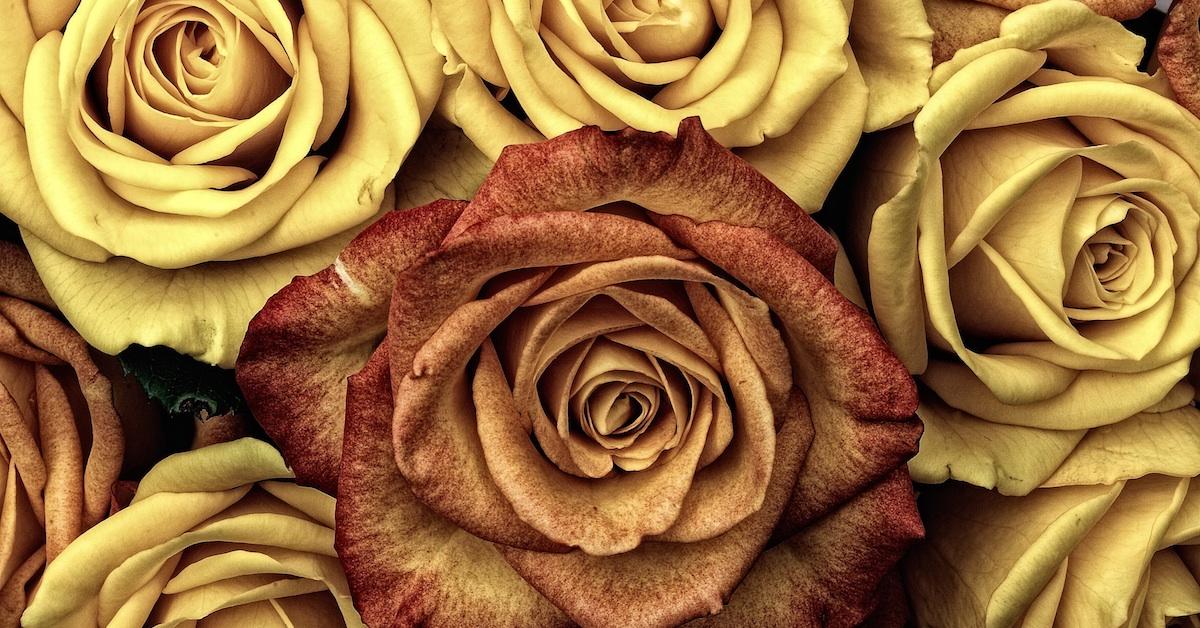 One burnt orange rose among yellow roses; change the world